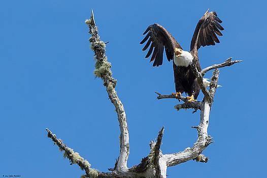 Bald Eagle by John Pavolich