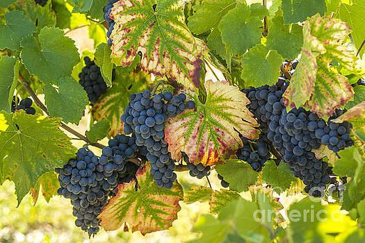 BERNARD JAUBERT - Bunch of grapes