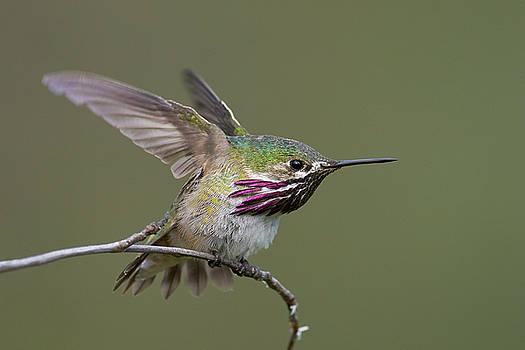 Calliope Hummingbird by Doug Herr