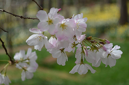 Cherry Blossoms by Linda Geiger