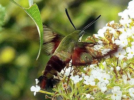 Cindy Treger - Clearwing Hummingbird Moth And White Butterfly Bush