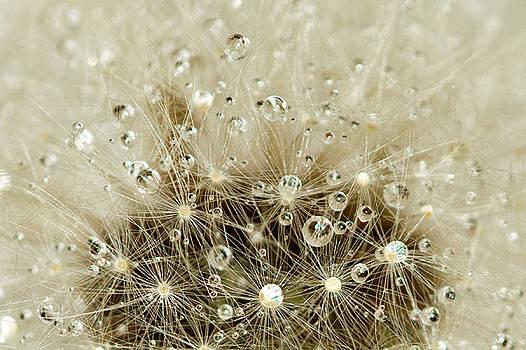 Dandelion seed head by Jouko Mikkola