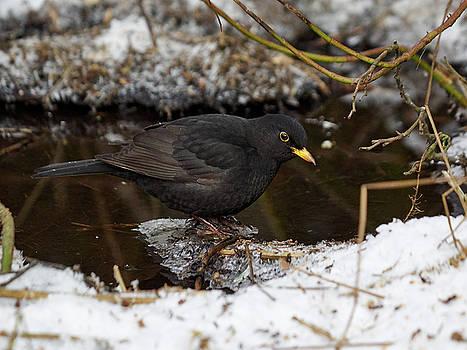 Eurasian blackbird by Jouko Lehto
