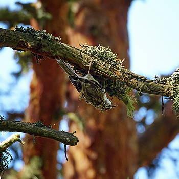 Eurasian treecreeper by Jouko Lehto