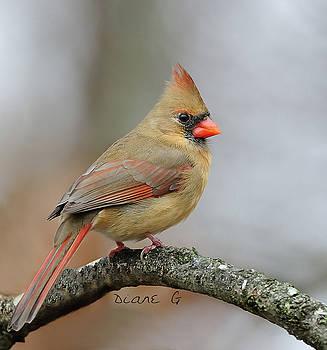 Female Cardinal by Diane Giurco