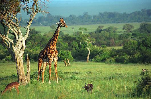 Sebastian Musial - Giraffe