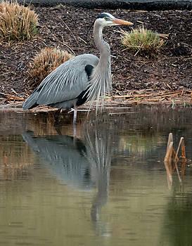 Great Blue Heron by Jack Nevitt