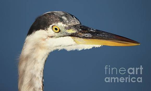 Paulette Thomas - Great Blue Heron Up Close