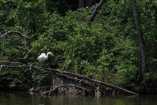 Great Egret by Dan Ferrin