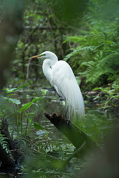 Great Egret by Frank Madia