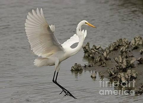 Paulette Thomas - Great White Egret Landing