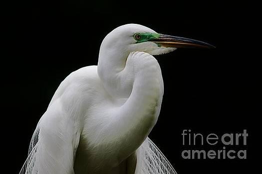Paulette Thomas - Great White Egret Portrait