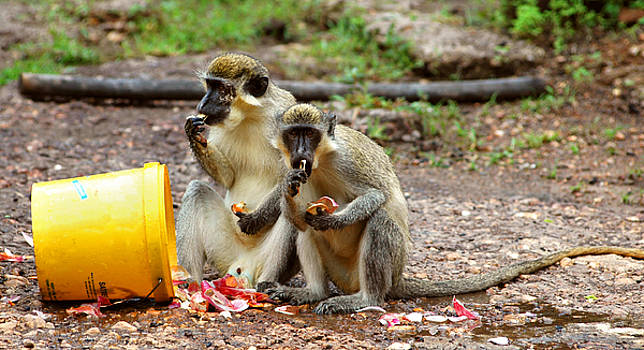 Eduardo Huelin - Green monkey in Senegal