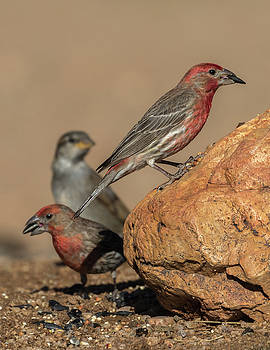 House Finch by Dee Carpenter