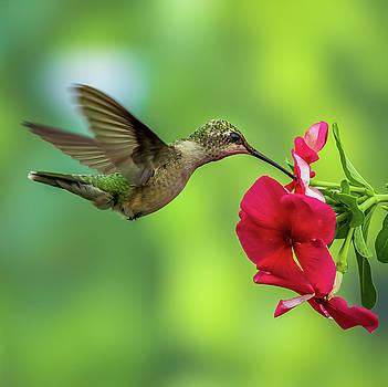 Hummingbird by Allin Sorenson