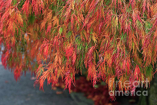 Japanese Maple Tree by Tracy Hall