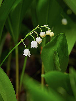 Lily of the valley by Jouko Lehto