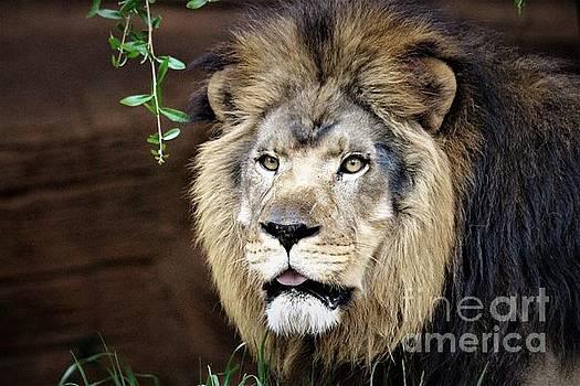Lion by Paulette Thomas