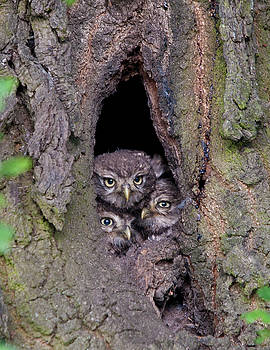 3 Little Little Owls by Dave Smith