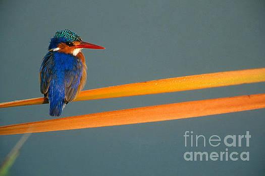 Malachite Kingfisher by Art Wolfe