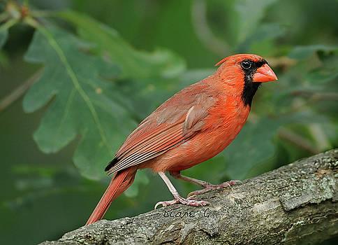 Male Cardinal by Diane Giurco