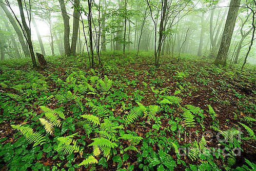 Misty Woods by Thomas R Fletcher