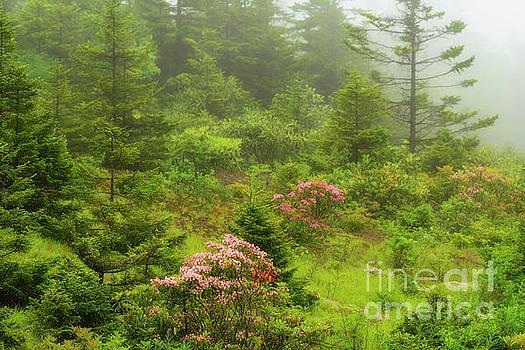 Mountain Laurel in Mist by Thomas R Fletcher