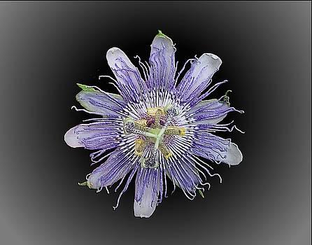 Joe Duket - Passion Flower