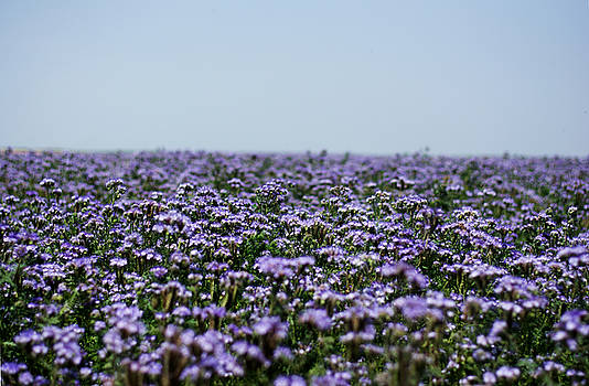 Newnow Photography By Vera Cepic - Phacelia fields