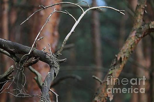 Pine Twigs by Dariusz Gudowicz