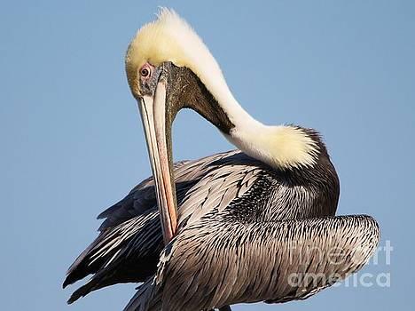 Paulette Thomas - Preening Pelican