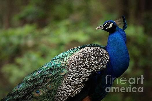 Pretty Peacock by Paulette Thomas