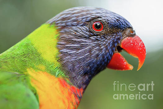 Rainbow lorikeet by Rob D