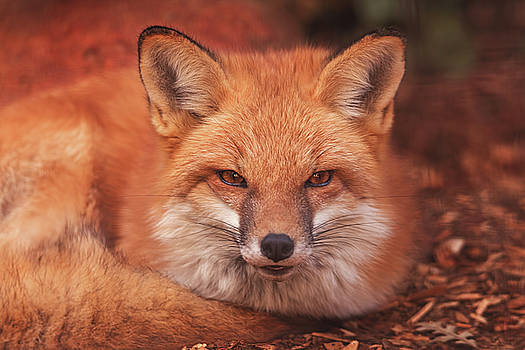 Red Fox  by Brian Cross