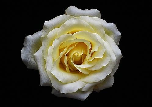 Rose by Carol Welsh