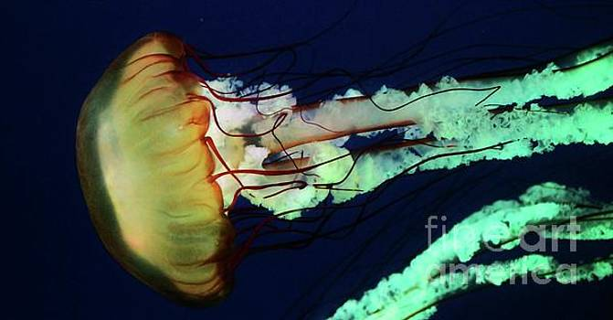 Paulette Thomas - Sea Nettles