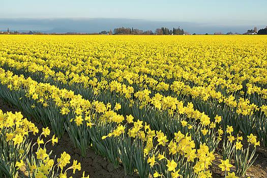 Skagit Valley Daffodils by Bob Stevens