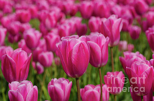 The Pink Ones by Nick Boren