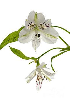 Compuinfoto   - white alstroemeria flowers