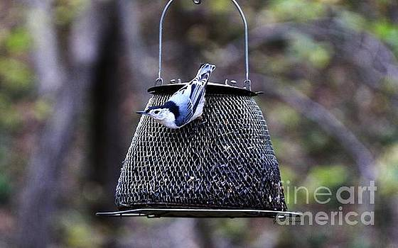 White breasted Nuthatch  by Yumi Johnson