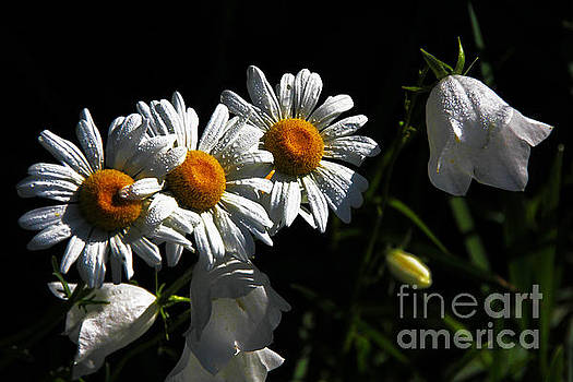 3 White Daisies 1 White Bell Flower by David Frederick