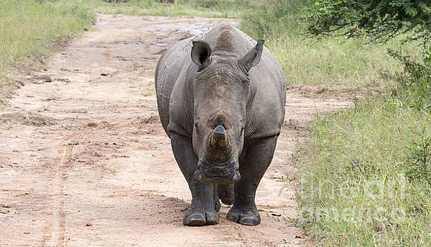 Compuinfoto  - white rhino at the kruger park