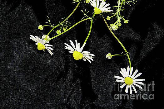 White Weed by Elvira Ladocki