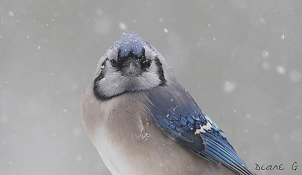Winter Blue Jay by Diane Giurco