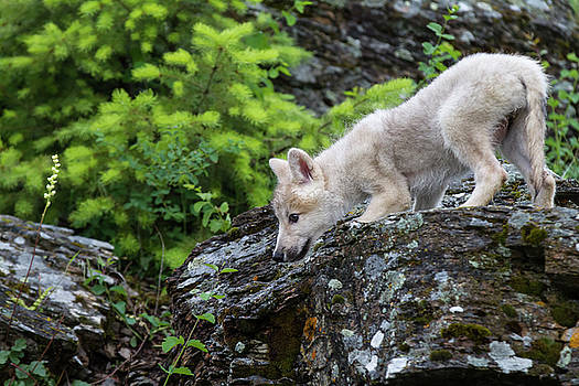 Wolf Pup by Dee Carpenter