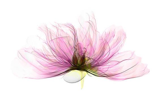 Ted Kinsman - X-ray Of Peony Flower