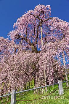 Miharu Takizakura Weeping Cherry27 by Tatsuya Atarashi