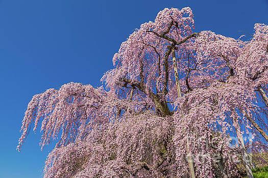 Miharu Takizakura Weeping Cherry28 by Tatsuya Atarashi