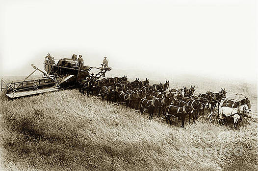 California Views Mr Pat Hathaway Archives - 32 Mules Pulling a Holt Bros. Side-hill Harvester Circa 1905