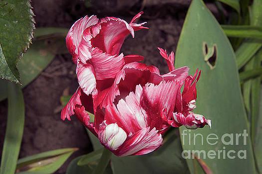 Nice Tulip by Elvira Ladocki